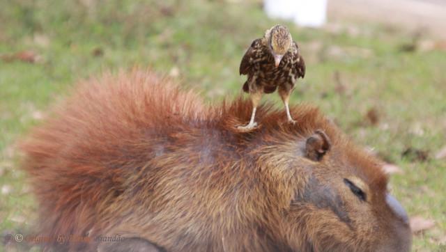 Srie com um jovem Gavio-carrapateiro (Milvago chimachima) procurando parasitas no corpo da capivara - Series with a young Yellow-headed Caracara looking for parasites on the Capybaras body - 26-06-2010 - IMG_3637 by Flvio Cruvinel Brando
