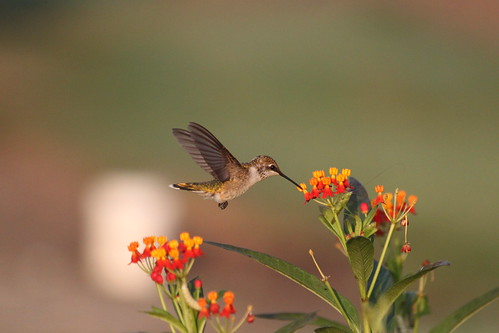 091 Ruby-throated Hummingbird
