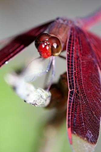 Neurothemis ramburii ramburii 善變蜻蜓