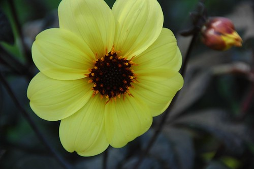 Dahlia 'Mystic Illusion'