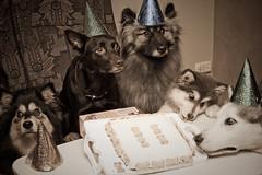 Cake! (TerraNik) Tags: thelittledoglaughed
