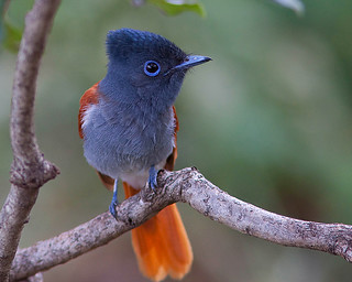 Papa-moscas-africano / African paradise flycatcher