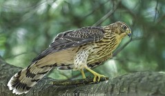 """I found a new toy"" (Hal Trachtenberg) Tags: bird juvenile birdofprey coopershawk juvenilecoopershawk geocity exif:iso_speed=400 exif:focal_length=140mm geostate geocountrys camera:model=nikond300s exif:model=nikond300s exif:aperture=28"