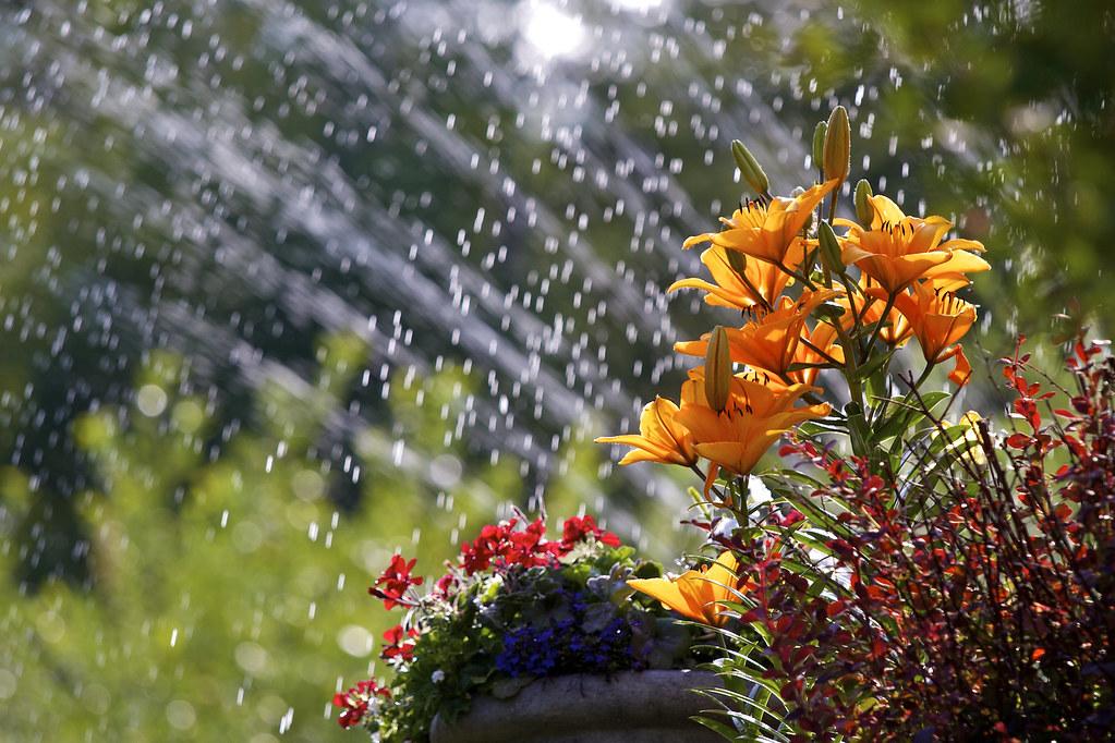 Sprinkler lilies 283/365