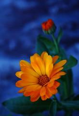 Un pensiero per Te... (Dancing Flowers by Gio') Tags: flowers flower nature colours natura gio fiori fiore colori ohhh effe brusson unpensieroperte platinumpeaceaward allegrisinasceosidiventa brussoncomunefiorito