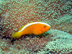 Yellow clownfish, Okinawa Japan