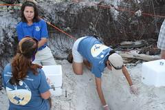 Continuing the dig (USFWS/Southeast) Tags: beach nest universityofflorida eggs seaturtle usfws oilspill usfishandwildlifeservice turtletalk nestrelocation marineturtleresearchgroup