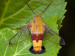 Cephonodes hylas Sitting On Leaf (aeschylus18917) Tags: danielruyle aeschylus18917 danruyle druyle ダニエルルール ダニエル ルール japan 日本 nikon d700 macro nature moth flight hawkmoth pellucidhawkmoth insecta lepidoptera macroglossinae cephonodes cephonodeshylas sphingidaemundi clearwinghawkmoth オオスカシバ 105mmf28gvrmicro insect ガ 蛾 105mmf28 105mm nikkor105mmf28gvrmicro pxt edit
