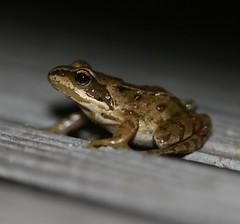 Rana temporaria (European Common Frog) (S. Rae) Tags: frog amphibians rana anura amphibia ranidae chordata tetrapoda