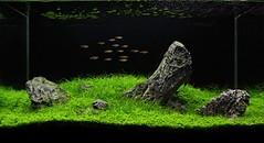 plants fish aquarium aquascape iwagumi