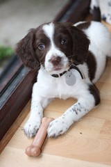 IMG_4499 (chrisgandy2001) Tags: dog cute english puppy cuddly spaniel springer springerspaniel doggy pup liver puppydog englishspringerspaniel englishspringer liverandwhite colorphotoaward