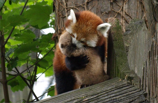 Chester Zoo - Red Panda Baby