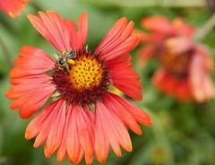 Pollen legs (Sharon's Shotz) Tags: red orange ontario canada flower green yellow petals bee kingston pollen sigmalens canonxti canoneosdigitalrebelxti worldwidephotowalk2010 scottkelbysworldwidephotowalk2010