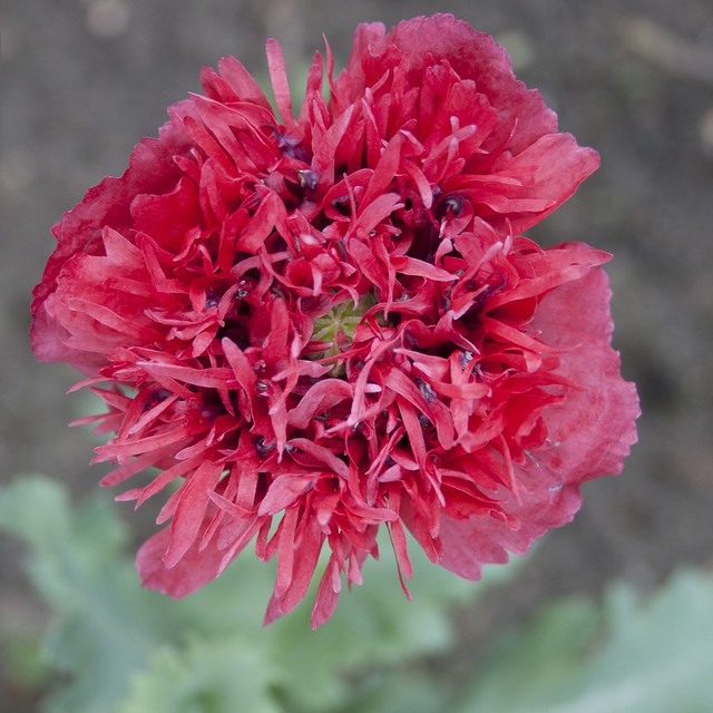 papaver in bloom