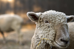 Sheep (Danny Rotondo Photography) Tags: portrait newjersey sheep farm holmdel explored