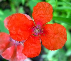 Wrinkled Flower (ellenc995) Tags: friends red orange flower unknown wrinkled coth supershot bej abigfave anawesomesho