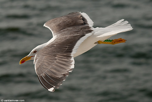 Lesser Black-backed Gull, adult, G[M.AAJ]
