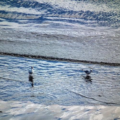 waterline gulls