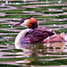 Great Crested Grebe with Young by Jim Sullivan