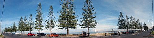 Norfolk Island Pines B