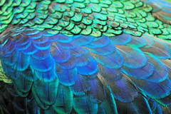 Upclose to the Peacock in Ubud (cwgoodroe) Tags: bali chicken blanco birds museum indonesia dancers rice feathers statues peacock carvings patties ubud legong paddies padies