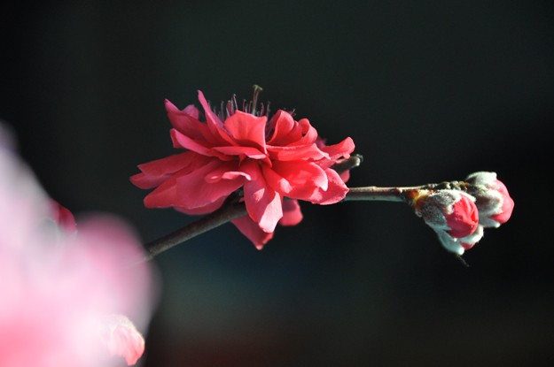 Cherry blossom 030