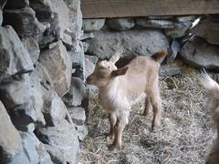 Lars at the wall (grongar) Tags: lars goats guernseys