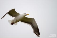 20100731-Seagull rising