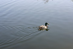 ripples (shireen-ahmed) Tags: texture nature water duck pond highpark ripple smooth calm