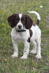 Jess (chrisgandy2001) Tags: dog cute english puppy spaniel springer springerspaniel doggy pup liver puppydog englishspringerspaniel englishspringer liverandwhite colorphotoaward