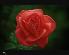Night Blossom (Muzammil (Moz)) Tags: uk flower macro london redrose moz nightcapture muzammilhussain