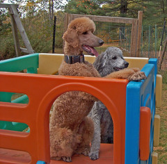 Waiting For A Treat (Higher_ Standards) Tags: simon spoo poodle judd playdate standardpoodle silverpoodle redpoodle