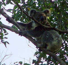 Phascolarctos cinereus-Koala (YAZMDG (16,000 images)) Tags: fauna wildlife koala nsw australis mammalia chordata diprotodontia phascolarctoscinereus rainbowregion goonengerry northernriversspecies faunaofoz phascolartidae