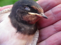 Dead newly fledged swallow