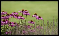 Pink Cone Flowers (Shell Sperling) Tags: pink flowers green stem surrey coneflower rhswisley
