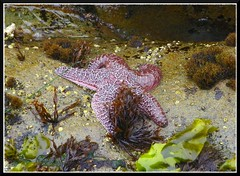 Starfish (Dusty_73) Tags: ocean sea shells seaweed beach water pool star rocks starfish sealife barnacles cambria tidal tentacles moonstone