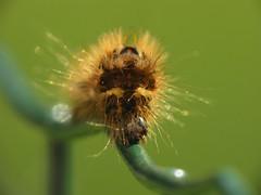 Caterpillar (AstridSofi) Tags: hairy sun macro sunglasses canon estonia caterpillar crawl blueribbonwinner flickraward