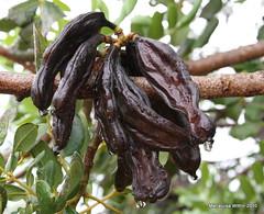 carob beans (Marlis1) Tags: trees rain beans spain raindrops catalunya waterdrops carob leguminosae locusttree ceratoniasiliqua johannisbrotbaum marlis1 canoneos1000d