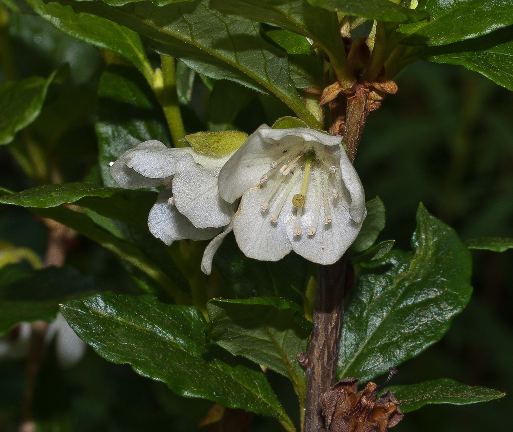 The Worlds Best Photos Of Whitefloweredrhododendron Flickr Hive Mind