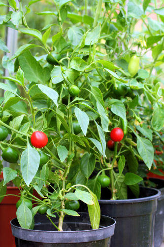 cherry bomb peppers  9596 R