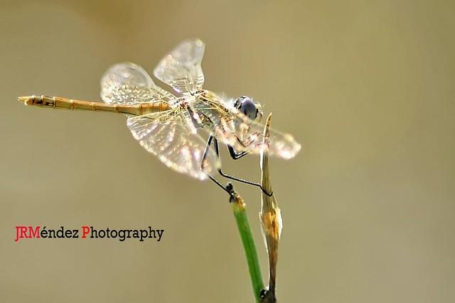 Tiempo de libélulas ...