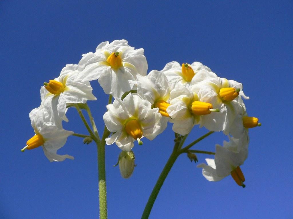 Flowers of the potato (Solanum tuberosum)