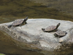 Family of Turtles (shaire productions) Tags: sf sanfrancisco california family cute green nature water animal rock stone river garden outdoors pond waterlily lotus outdoor turtle reptile shell waterlilies turtles pads basking herpetology redearslider redearsliders