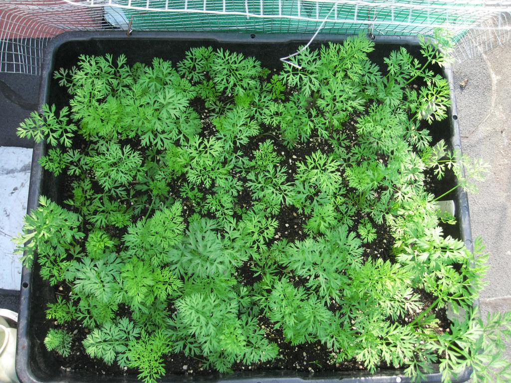 Rooftop Vegetable Garden 2010