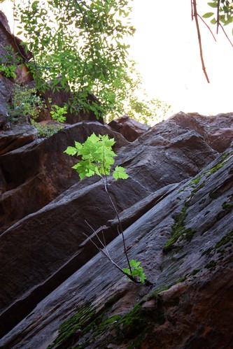 A Tree Grows in Zion