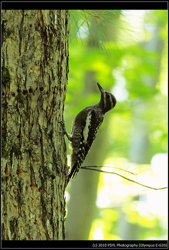 Yellow-bellied Sapsucker (Sphyrapicus varius) young