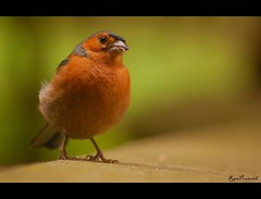 Chaffinch (FLASH MEDIA CREATIONS) Tags: pictures nottingham wild india bird nature beautiful birds animals advertising photography amazing interesting nikon pics fashionphotography wildlife creative insects ram tamilnadu coimbatore chaffinch designing universityofnottingham professionalphotography foodphotography cbe productphotography prasanth fmc industrialphotography advertisingphotography ramprasanth jewelleryphotography photographycompany designinglogo flashmediacreations productphotographyincoimbatore industrialphotographyincoimbatore professionalphotographysolutions photographyprintinglogo coimbatoreweb ramprasanthphotography