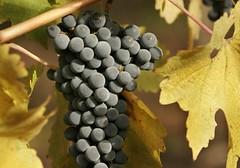 Los varietales de uva insignia de la Patagonia