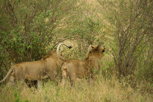 Male Lions - Maasai Mara, Kenya