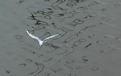 IMG_3200 (Martin P Perry) Tags: seagulls bird birds canon river marine photographer martin seagull gull gulls events festivals hampshire bands isleofwight dorset medina weddings perry wight lymington bandphotography isleof flickraward martinperry flickraward5 martinperryphotography martinperryphotographer
